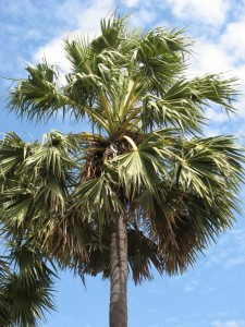 Rontal tree